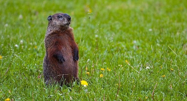 New Jersey Town Can't Find A Real Groundhog for Groundhog Day, Decide To Use Stuffed One Instead